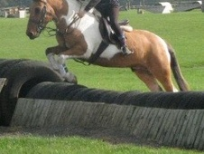 Riding Club Horses/Ponies horse - 15 yrs 12.2 hh Skewbald - Cheshire