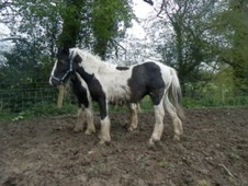 Young Stock  horse - 11 mths 14.2 hh Coloured - Dyfed
