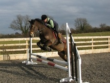 All Rounder horse - 7 yrs 1 mth 13.2 hh Bay - South Yorkshire