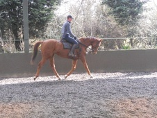 All Rounder horse - 12 yrs 16.0 hh Chestnut - Worcestershire