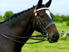Showing horse - 8 yrs 16.2 hh Bay - Nottinghamshire