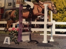 13. 1hh Palomino Gelding For Sale