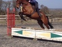 All Rounder horse - 6 yrs 3 mths 16.1 hh Bay - Somerset