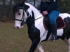 Cobs horse - 3 yrs 6 mths 14.2 hh Piebald - South Yorkshire