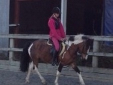 Pony Club Ponies horse - 7 yrs 1 mth 13.0 hh Tri-Coloured - Shrop...