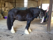 Cobs horse - 8 yrs 15.3 hh Dark Bay - East Sussex