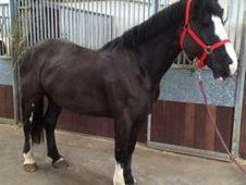 All Rounder horse - 6 yrs 15. 2 hh - Laois