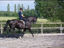 16 Hands Friesian Mare Project Horse
