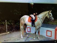 All Rounder horse - 4 yrs 14. 2 hh - Laois