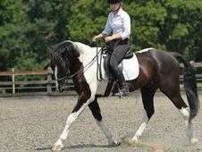 16. 1 Coloured Sports Horse Gelding
