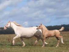 Stunning show quality palomino welsh cob section d yearling with ...