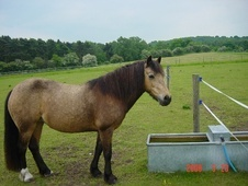 Family horse - 14 yrs 13.0 hh Bay - West Midlands