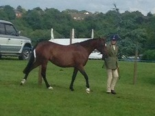 13hh Sp/shp Welsh Sec B