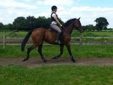 16. 2hh Bay Tb Gelding For Sale