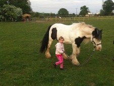 Piebald cob bombproof 13. 2 perfect for novice and a family pony!