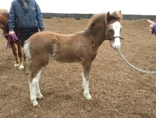 Adorable Section A x - Foal