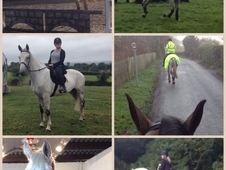 All rounder/show hunter for sale