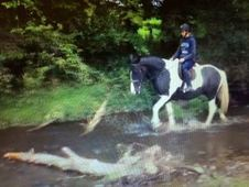 All Rounder horse - 6 yrs 16. 0 hh - Laois