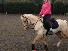 All Rounder horse - 8 yrs 10 mths 13.1 hh Palomino - West Yorkshire