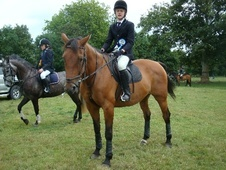 All Rounder horse - 15 yrs 16.1 hh Bright Bay - Devon