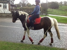 Coloured horse - 5 yrs 8 mths 15.0 hh Skewbald - West Yorkshire