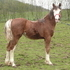 Eye-catching home-bred Welsh Cob filly