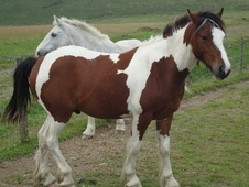 Coloured horse - 4 yrs 13.0 hh Skewbald - West Glamorgan