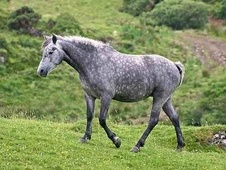 All Rounder horse - 5 yrs 4 mths 15.0 hh Dapple Grey - Ayrshire
