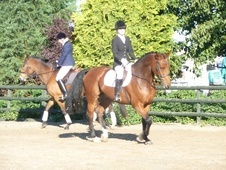 All Rounder horse - 7 yrs 5 mths 16.2 hh Bay - Staffordshire