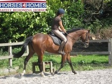 Mellie, 16. 1h, Thoroughbred, 10 Years, Mare - Hampshire