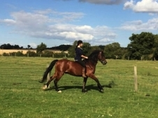 STUNNING 15. 2hh Project gelding SOLD