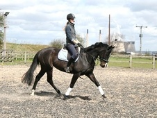 All Rounder horse - 6 yrs 1 mth 15.3 hh Black - West Yorkshire