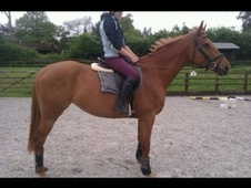 Eventers horse - 6 yrs 1 mth 16.3 hh Chestnut - Surrey