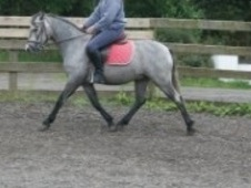 13. 2hh Connemara Sports Pony - Brilliant Allrounder