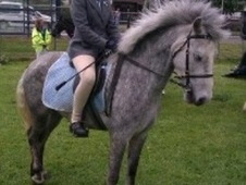 All Rounder horse - 6 yrs 2 mths 13.2 hh Dapple Grey - Ayrshire