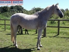 Money, 16h, Dutch Warmblood, 20 Years, Gelding - Kent