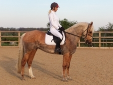 Stunning 14. 2hh Palomino All-rounder, Super Jumper (with Video)
