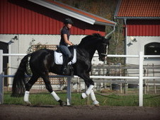 Advanced dressage Hanoverian Gelding 17hh