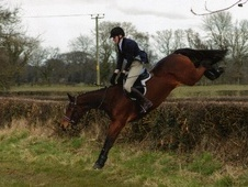 All Rounder horse - 8 yrs 11 mths 16.0 hh Dark Bay - Derbyshire