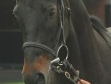 All Rounder horse - 8 yrs 4 mths 16.2 hh Dark Bay - Ayrshire
