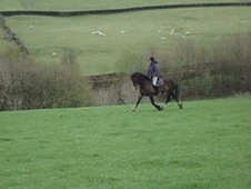 Mountain & Moorland horse - 4 yrs 2 mths 14.2 hh Dark Bay - West ...