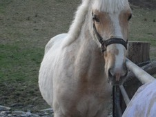 Stunning 15. 2h 2 Year Old Palomino Filly