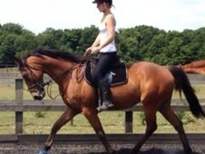 16h 8yr Old Bay Gelding Perfect Mother Daughter Share
