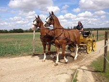 Pair Of Ride & Drive Gelderlander Geldings