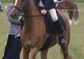 All Rounder horse - 17 yrs 7 mths 13.1 hh Chestnut - Warwickshire