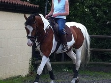 All Rounder horse - 6 yrs 10 mths 15.2 hh Coloured - Suffolk