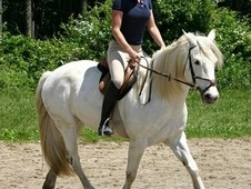Gypsy Sport Horse Cross Mare