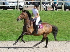 15.2hh THOROUGHBRED X FOR SALE