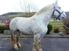All Rounder horse - 5 yrs 10 mths 17.0 hh Dapple Grey - Suffolk