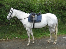 All Rounder horse - 9 yrs 3 mths 16.1 hh Dapple Grey - Devon